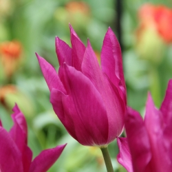 Tulipa 'Purple Dream'®