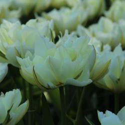 Tulipa 'Exotic Emperor'®