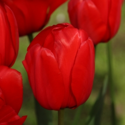 Tulipa 'Red Impression'