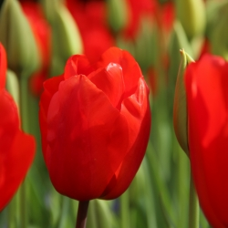 Tulipa 'Lalibela'