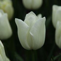 Tulipa 'Kiwanis'