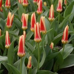 Tulipa 'Corona'