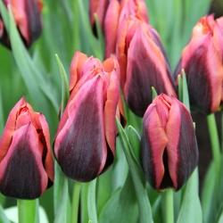Tulipa 'Slawa'