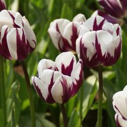 Tulipa 'Rem's Favourite'
