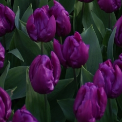 Tulipa 'Purple Prince'