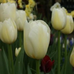 Tulipa 'Pays Bas'