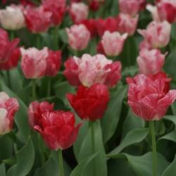 Tulipa 'Hemisphere '