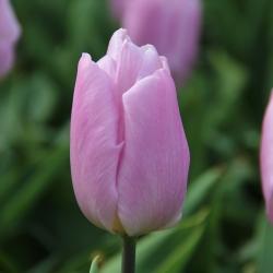 Tulipa 'Candy Prince'