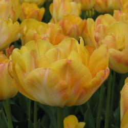 Tulipa 'Granny Award'