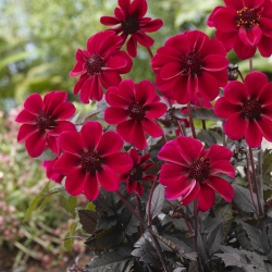 Dahlia 'Dark Angel Dracula'
