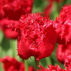 Tulipa 'Barbados '®