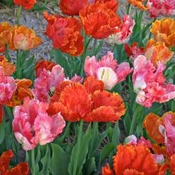 Tulipa -Parkiettulpen mix-
