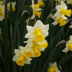 Narcissus 'Golden Echo'