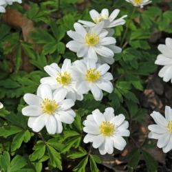 Anemone nemorosa 'Hilda'