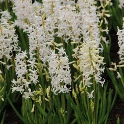 Hyacinthus 'White Festival'
