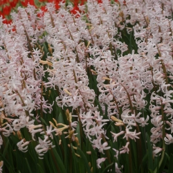 Hyacinthus 'Pink Festival'