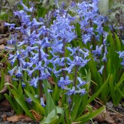 Hyacinthus 'Blue Festival'