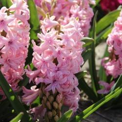 Hyacinthus 'Rosette'