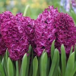 Hyacinthus 'Woodstock'