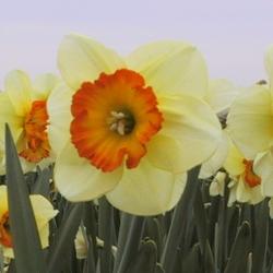 Narcissus 'Velasques'