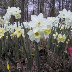 Narcissus 'Pueblo'