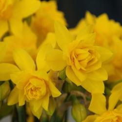 Narcissus odorus 'Plenus'