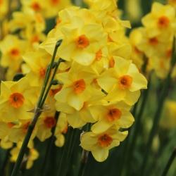 Narcissus 'Martinette'