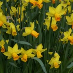 Narcissus 'Jetfire'