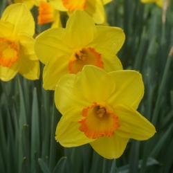 Narcissus 'Goldflake'