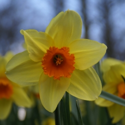Narcissus 'Fortissimo'