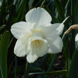 Narcissus 'Creation'