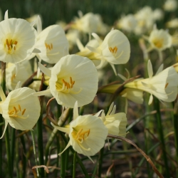 Narcissus bulbocodium...