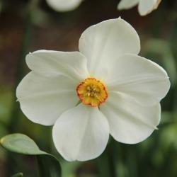 Narcissus 'Actaea'