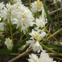 Puschkinia libanotica 'Alba'
