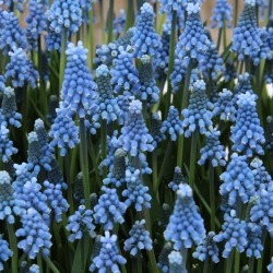 Muscari aucheri 'Blue Magic'®