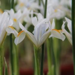 Iris reticulata 'Natascha'