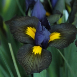 Iris hollandica 'Tigereye'®
