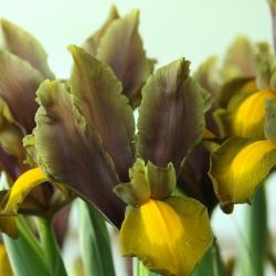 Iris hollandica 'Autumn...