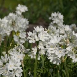 Narcissus 'Paperwhite Ziva'