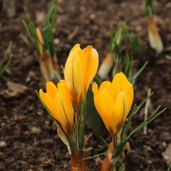 Crocus flavus 'Golden Yellow'