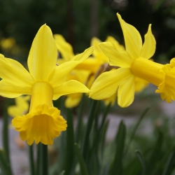 Narcissus 'Peeping Tom'