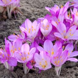 Colchicum cilicium 'Purpureum'