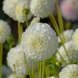 Dahlia 'White Aster'