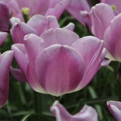 Tulipa 'Magic Lavender'®