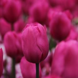 Tulipa 'Don Quichotte'