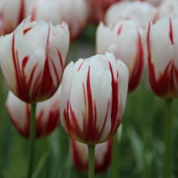 Tulipa 'Happy Generation'