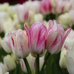 Tulipa 'Candy Club'