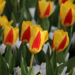Tulipa 'Stresa'