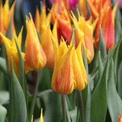 Tulipa 'Vendee Globe'
