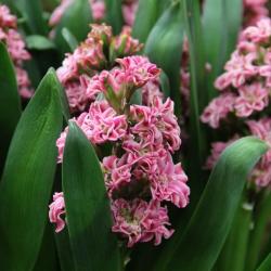 Hyacinthus 'Eros'